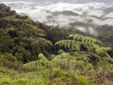 Forest Reserve with Fern and Mist, Nyungwe Forest National Park, Rwanda Photographic Print by Ariadne Van Zandbergen