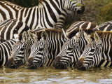 Plains Zebra, Serengeti National Park, Shinyanga, Tanzania Photographic Print by Ariadne Van Zandbergen