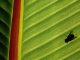 Silhouette of Fly on Banana Leaf, Tzimbazaza Zoo, Antananarivo, Antananarivo, Madagascar Photographic Print by Anders Blomqvist