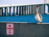 Brown Pelican in Front of Sunshine Skyway Bridge, Tampa Bay, Tampa, Florida Photographic Print by David Tomlinson