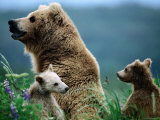 Brown Bear Mother and Spring Cubs, Hallo Bay, Alaska Photographic Print by Mark Newman