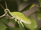 Flap-Necked Chameleon, Zanzibar Town, Zanzibar West, Tanzania Fotografisk trykk av Ariadne Van Zandbergen