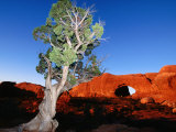 Tree Infront of Turret Arch, Arches National Park Photographic Print by Holger Leue