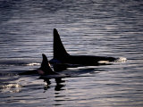 Killer Whales Photographic Print by Mark Newman