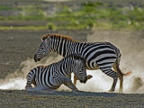 Common Zebra Fighting, Ngorongoro Crater, Arusha, Tanzania Photographic Print by Ariadne Van Zandbergen