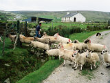 Sheep Crossing Road, Ireland Photographic Print by Holger Leue