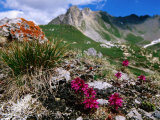 Alpine Wildflowers with Mountain in Distance, Vanoise National Park, Rhone-Alpes, France Photographic Print by John Elk III
