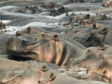Pod of Hippopotamus, Selous Game Reserve, Pwani, Tanzania Photographic Print by Ariadne Van Zandbergen