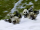 Two Giant Panda Cubs Rolling on Snow, Wolong Ziran Baohuqu, Sichuan, China Photographic Print by Keren Su