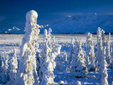 Frozen Spruce Forest, Chugach Mountains, Chugach National Forest, Alaska Photographic Print by Mark Newman