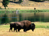 Pair of American Bison Beside Yellowstone River, Hayden Valley, Yellowstone National Park, Wyoming Photographic Print by David Tomlinson