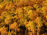 Autumn Foliage on Aspen Trees, Steamboat Springs, Colorado Photographic Print by Holger Leue