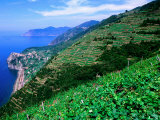 Vineyards from Trail Above Corniglia, Cinque Terre, Liguria, Italy Photographic Print by John Elk III