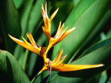 Bird of Paradise Flower, Almond Beach Club, Spa, St James Lámina fotográfica por Holger Leue