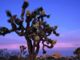 Wildflowers, Joshua Trees, Joshua Tree National Park, California Photographic Print by John Elk III