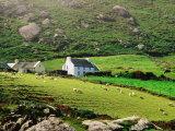 Sheep Grazing Near Farmhouses, Munster, Ireland Fotografisk tryk af John Banagan