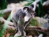 Koala, Hartley's Creek Crocodile Farm, Cairns, Queensland, Australia Photographic Print by Holger Leue