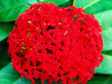 Ixora Flower, Flower Forest Richmond, St Joseph Photographic Print by Holger Leue