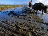 Water Buffaloes, Hue, Thua Thien-Hue, Vietnam Photographic Print by Stu Smucker