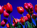 Detail of Tulips at Tesselaar Tulip Farm in Silvan, Melbourne, Australia Photographic Print by Krzysztof Dydynski