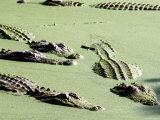 American Alligators, Everglades National Park, Florida Photographic Print by Mark Newman