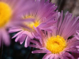 Spring Display of Flowers, Mohave Aster, Death Valley National Park, California Photographic Print by John Elk III