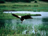 African Fish Eagle Coming in to Land, South Africa Photographic Print by Mark Newman