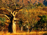 Boab Trees on Victoria Highway, Keep River National Park, Northern Territory, Australia Photographic Print by John Banagan