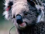 Koala with Transmitter, Phillip Island, Victoria, Australia Photographic Print by Michael Coyne