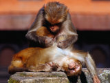 Monkeys at the Temple Complex, Pashupatinath, Bagmati, Nepal Photographic Print by Richard I'Anson