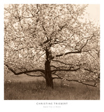Apple Tree in Bloom Prints by Christine Triebert