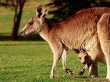 Kangaroo and Joey on Bellarine Peninsula, Barwon Heads, Victoria, Australia Fotografisk tryk af John Banagan
