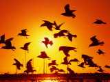 Seagulls at St. Kilda, Sunset, Melbourne, Victoria, Australia Photographic Print by John Banagan