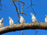 Corella Parrots on Branch, Kakadu National Park, Northern Territory, Australia Photographic Print by John Banagan