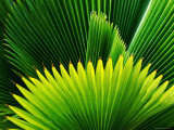Palm at Windjammer Landing Villas, Gros Islet Photographic Print by Holger Leue