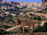 Donkey with the City of Bethlehem in the Background, Israel Fotografie-Druck von Michael Coyne