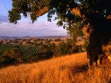 Firestone Vineyard in Background, Santa Ynez Valley, California Fotodruck von Oliver Strewe