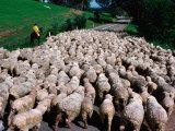 Droving Sheep along Road, Omeo, Victoria, Australia Photographic Print by Michael Coyne