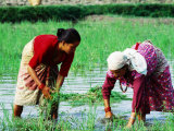 Two Newari Women Planting Rice in Paddy, Kathmandu, Bagmati, Nepal Photographic Print by Oliver Strewe