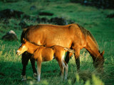 Mare and Foal, Easter Island, Valparaiso, Chile Fotografie-Druck von Peter Hendrie