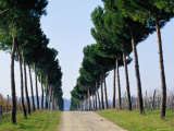 Tree-Lined Entrance to Vineyard, Torgiano, Umbria, Italy Photographic Print by Oliver Strewe