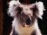 Koala, Australia Fotografie-Druck von Peter Hendrie