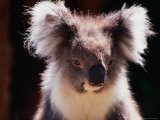 Koala, Australia Photographic Print by Peter Hendrie