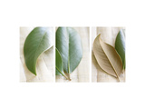 Leaves and Muslin Triptych Photo