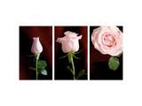 Pink Roses Triptych Photo