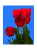 Tulip Photographic Print by George Oze