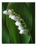 Lilly of the Valley III Photographic Print by Anna Maria Miller