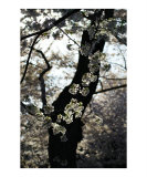 Cherry Blossoms in silhouette Photographic Print by Mairim Garriga