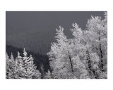 Colorado Snow Covered Tree Tops Photographic Print by Steven Samuelson