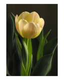 Stephanies Yellow Tulip Photographic Print by Susan Parslow